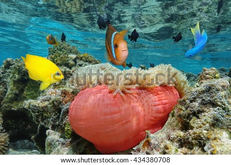 Colorful tropical fish with a Magnificent sea anemone in shallow water, Bora Bora, Pacific ocean, French Polynesia - stock photo