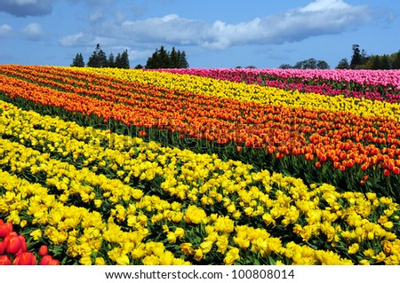 Colorful tulip farm landscape