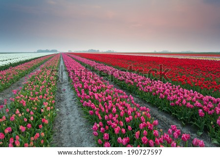 colorful tulip fields at sunset, Netherlands