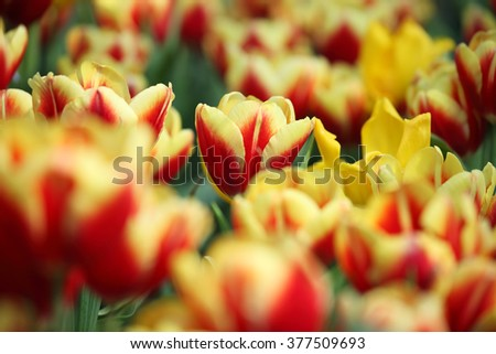 colorful tulip flower as background.