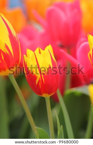 Colorful tulip flower filed - stock photo