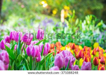 Colorful tulip garden in spring - stock photo