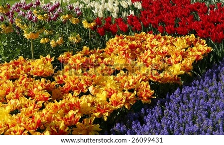 Colorful tulip garden in the spring