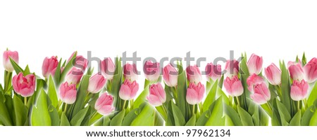 Colorful Tulip panorama isolated on white - stock photo