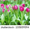 Colorful tulips - stock