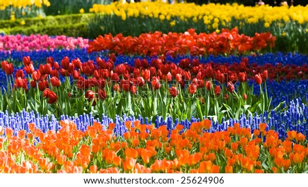 Colorful tulips and common grape hyacinth in spring - stock photo