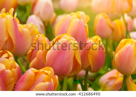 Colorful tulips, beautiful flowers blooming beautifully, like a cold and was very popular. - stock photo
