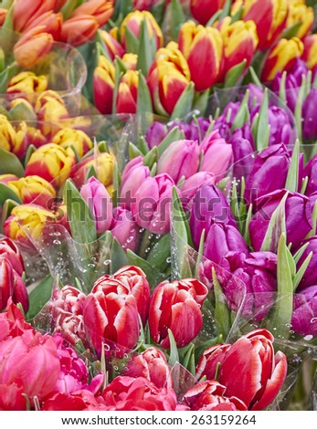 colorful tulips close up, natural background - strong bokeh