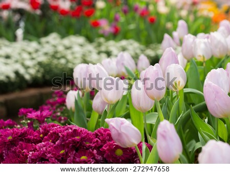 colorful tulips flower blooming in floral garden  - stock photo
