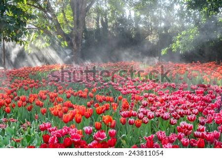 Colorful tulips garden - stock photo