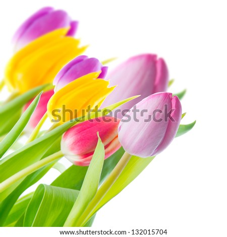colorful tulips in a corner of the frame on a white background