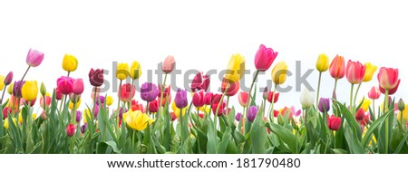 Colorful tulips in a field on a white background - stock photo