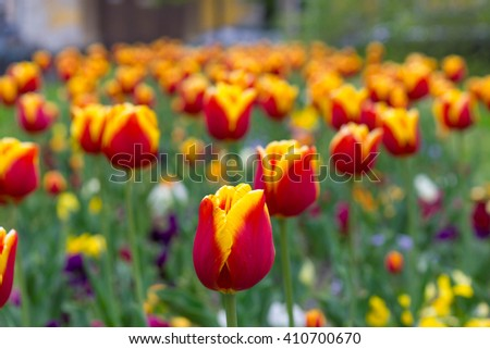 Colorful tulips in a park, springtime - stock photo
