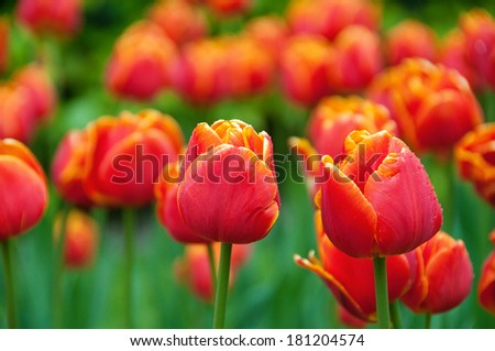 colorful Tulips in Park on Spring time