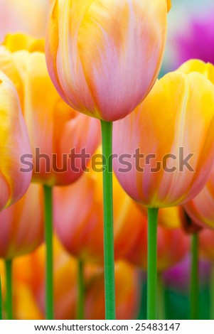 Colorful tulips in spring(Keukenhof, The Netherlands) - stock photo