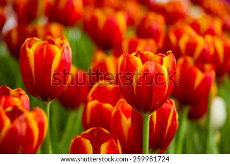 Colorful tulips in the field  - stock photo