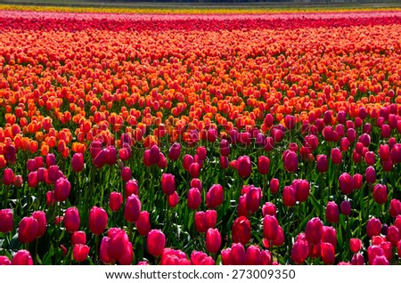 Colorful tulips in the field