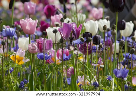 Colorful tulips in the park. - stock photo