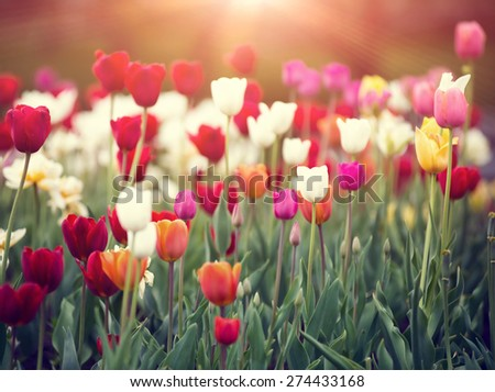 colorful tulips on a sunset in spring.