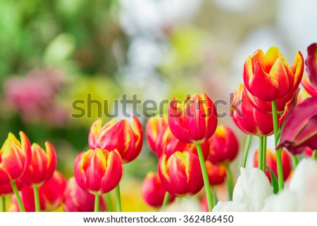 colorful tulips, tulips in garden