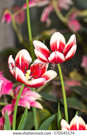 Colorful  tulips under the bright spring sun. - stock photo