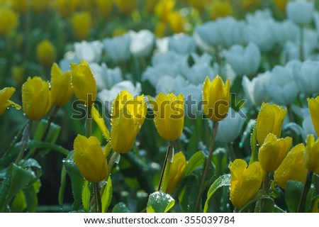 Colorful tulips with selective focus in Chiang Rai ASEAN flower festival 2015 at Chiangrai provinc; Thailand  - stock photo