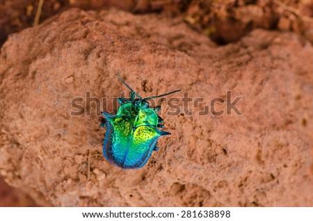 Colorful turquoise bug on orange background. Found in Gran Sabana, Venezuela - stock photo