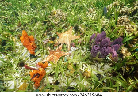 Colorful underwater animals on the seabed with Branching tube sponge, Cushion starfish and fire sponge, Caribbean sea - stock photo
