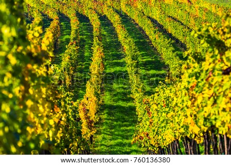 Colorful vineyard in autumn in a beautiful landscape scenery.