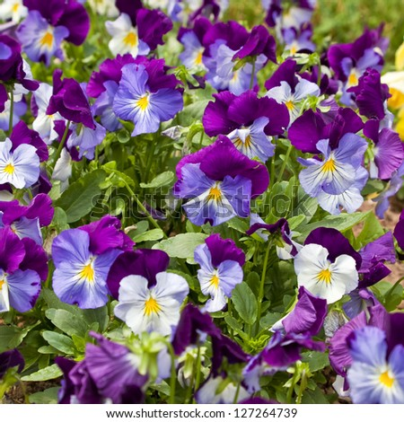 Colorful violas in the summer garden.