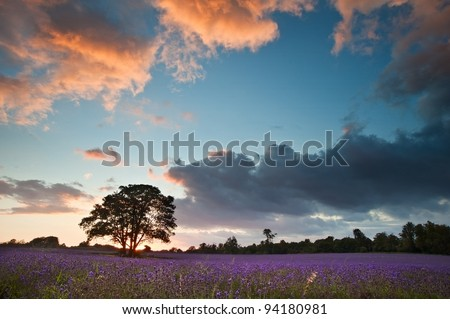 Colorful vivid Summer sunset over lavender fields with lovely cloud formations - stock photo