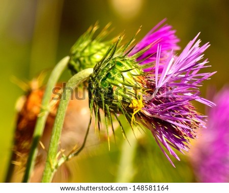 Colorful wild thistle flower in foreground  with a yellow spider over - stock photo