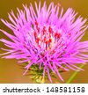 Colorful wild thistle flower with many red spiders parasitic inside - stock photo