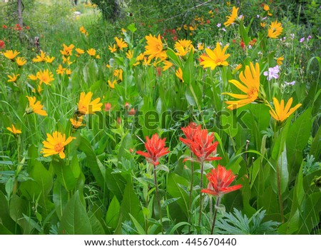 Colorful wildflowers in a meadow, Utah, USA. - stock photo