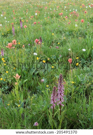 Colorful wildflowers in a mountain meadow, Utah, USA. - stock photo
