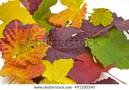 colorful wine leaves in burgundy, red, yellow, orange, green, multicolored for cropping