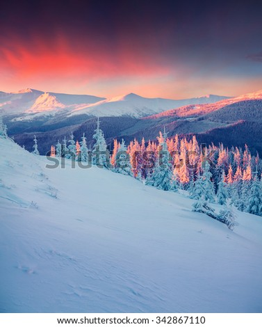 Colorful winter scene in the Carpathian mountains. Fir trees covered fresh snow at frosty morning glowing first sunlight. - stock photo