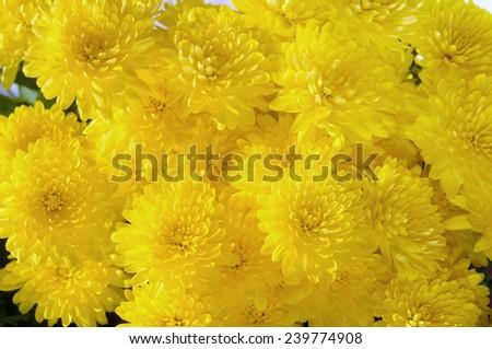 Colorful yellow autumnal chrysanthemum background  - stock photo