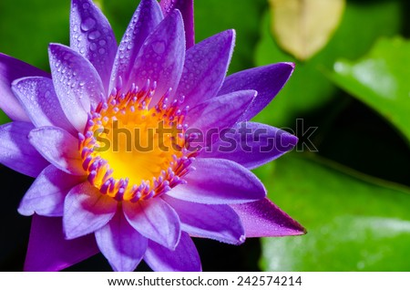 Colorful yellow carpel and water drops on purple lotus flower - stock photo