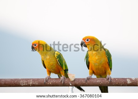 Colorful yellow parrot, Sun Conure (Aratinga solstitialis), standing on the branch