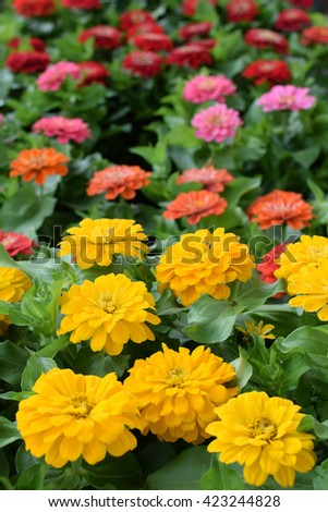 Colorful zinnia flowers in bloom. Springtime background. - stock photo