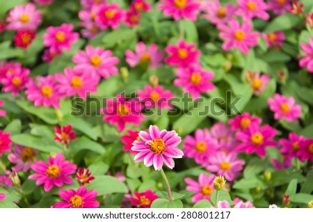 Colorful Zinnia flowers in the garden