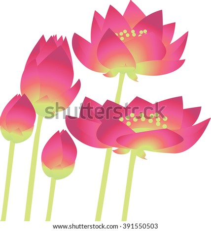 colour illustration of water lily