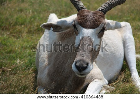 Colour image of an antelope sitting on the grass of a safari park. Antelope is resting and looking at camera. - stock photo