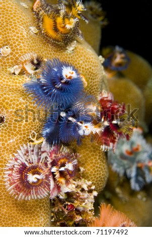 Colour variations of christmas tree worms (Spirobranchus) on a Porites coral. Taken in the Wakatobi, Indonesia.