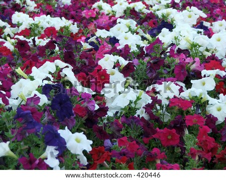 Colourful batch of petunias - pinks, blues and whites