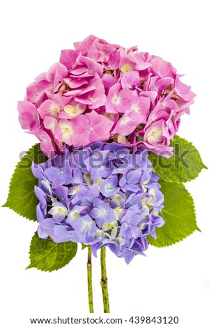 Colourful bouquet of pink and purple hydrangea flowerheads, Hydrangea macrophylla, isolated on white background - stock photo