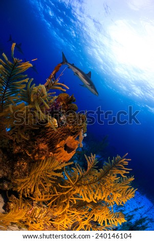 Colourful coral reef underwater scenery with reef shark in background in Nassau, Bahamas - stock photo