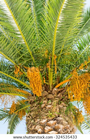 Colourful dates on palm tree. Vertical.