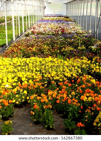 Colourful display of Pansy bedding plants in a garden nursery. - stock photo